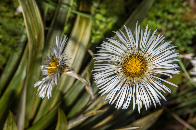 Fiordland mountain daisy (Celmisia coriacea). Warren Burn, Spey River, Fiordland National Park.