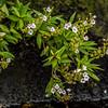 Fiordland parahebe (Veronica catarractae). East Branch Big River, Fiordland National Park.