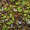 Forest violet (Viola filicaulis). Thisbe Stream, Catlins Forest.