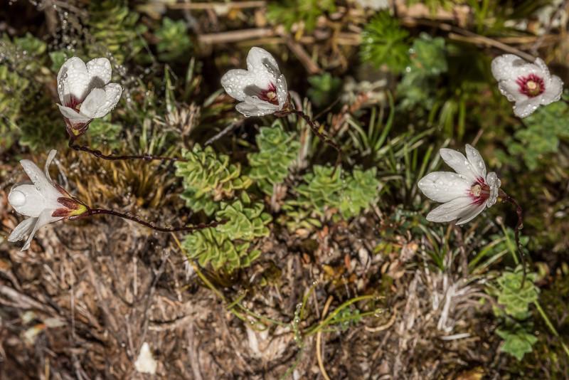 Forstera sedifolia. Emily Creek, Routeburn.
