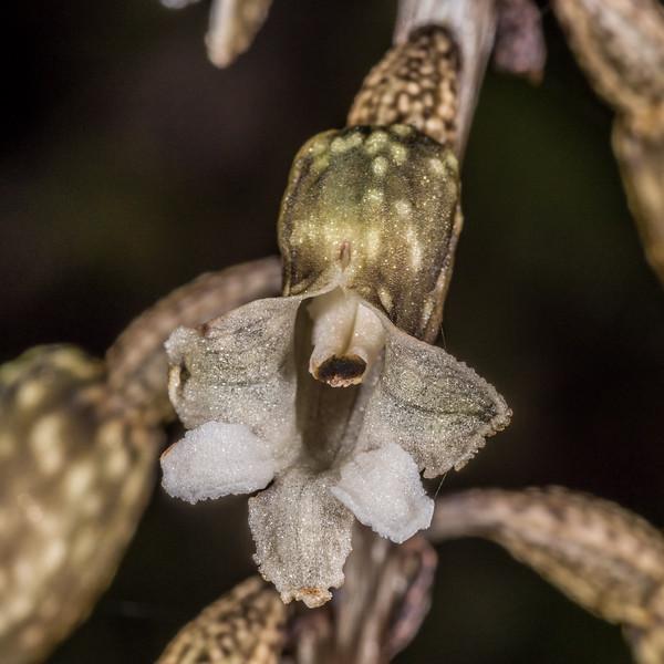 Potato orchid or black orchid / hūperei (Gastrodia cunninghamii). Seaforth River, Fiordland National Park.