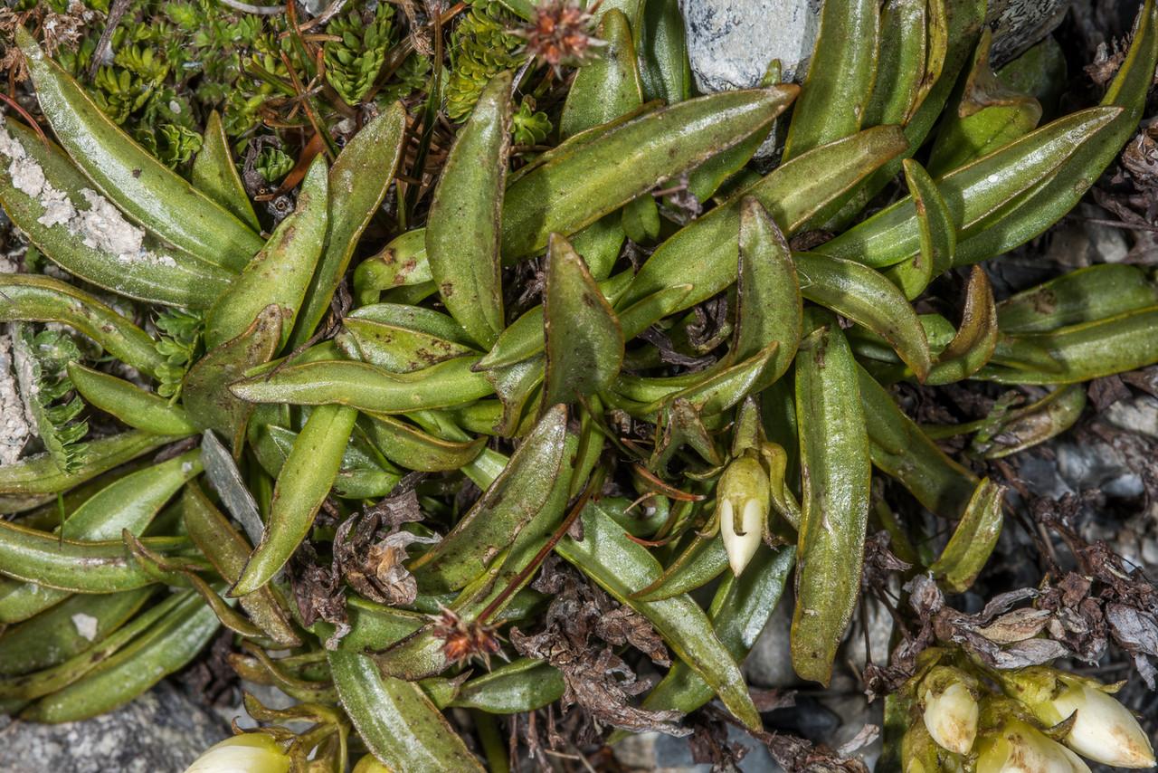 Gentian (Gentianella bellidifolia). Mount Domett, St Marys Range.