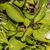 Gentian (Gentianella bellidifolia). Emily Peak, Ailsa Mountains.