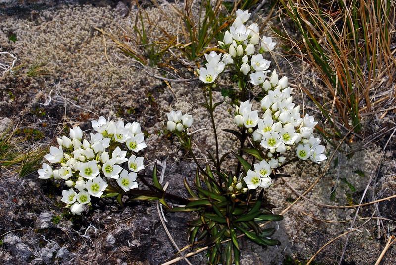 Tall gentian (Gentianella corymbifera). Above Kea Basin, Rees Valley