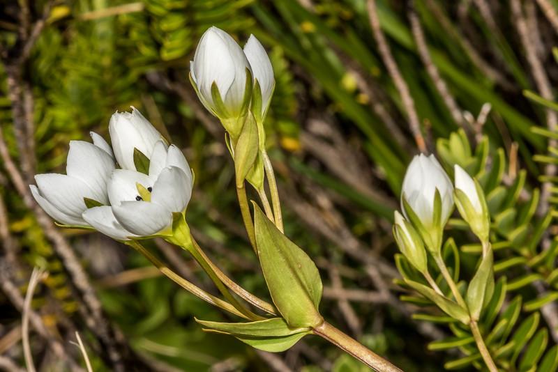 Tall gentian (Gentianella corymbifera). Routeburn Track above Lake MacKenzie.