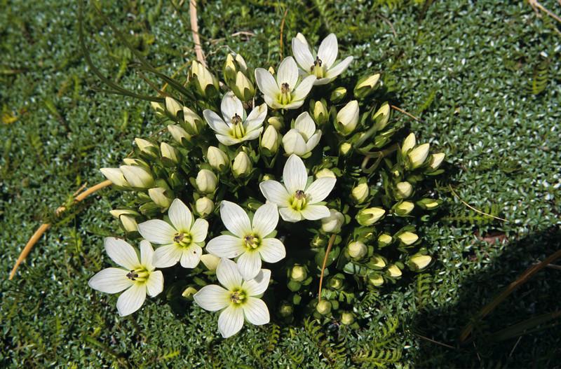 Gentian (Gentianella divisa). Beans Burn, Mount Aspiring NP