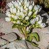 Gentian (Gentianella divisa). Mount Wakefield, Aoraki / Mount Cook National Park.