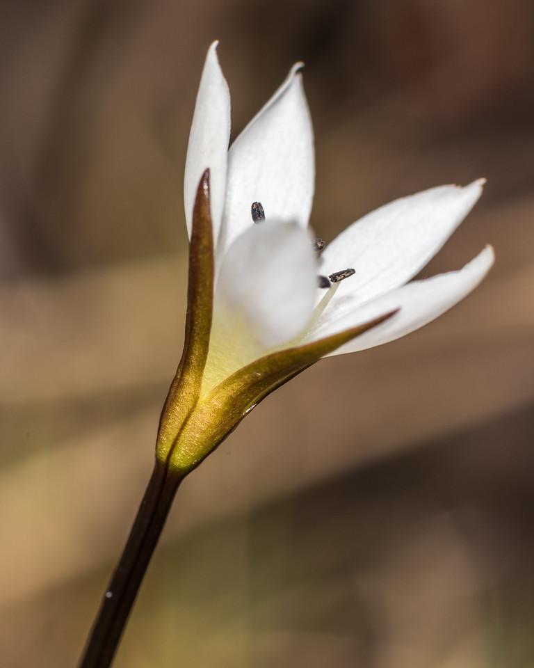 Gentianella lineata. Rugged Mount, Cameron Mountains, Fiordland National Park.