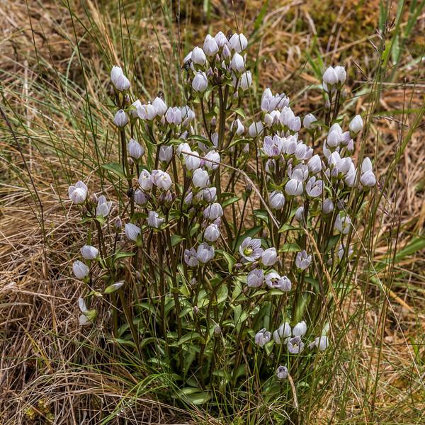 Gentian (Gentianella patula). Cobb River, Kahurangi National Park.