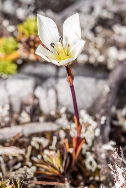 Gentianella vernicosa. Three Pointer, Heaphy Track, Kahurangi National Park.