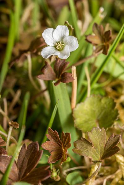 Geranium aff. microphyllum. Thisbe Stream, Catlins Forest.