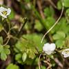 Geranium microphyllum. Ellis Basin, Arthur Range, Kahurangi National Park.