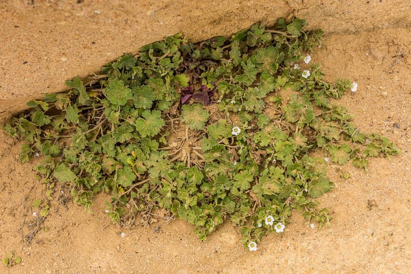 Chatham Island geranium (Geranium traversii). Te Whenuhau / Red Bluff, Petre Bay, Chatham Island.