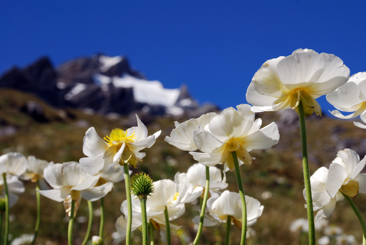 Mount Cook Lily (Ranunculus lyallii) on the slopes of Pioneer Peak, Douglas River