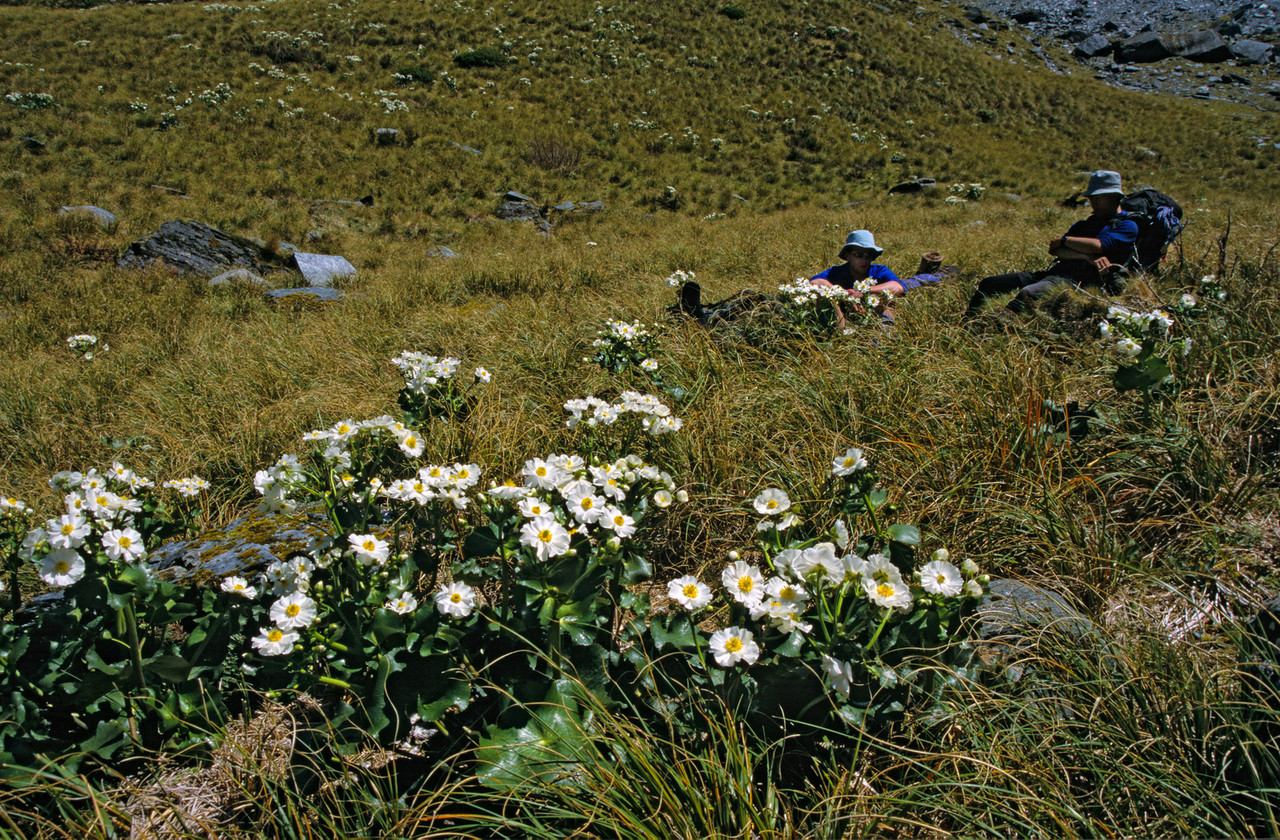 Giant buttercup (Ranunculus lyallii). West Matukituki Valley