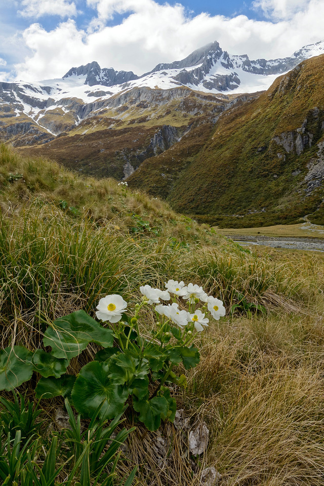 Mount Cook lily (Ranunculus lyallii) in the Huxley River North Branch