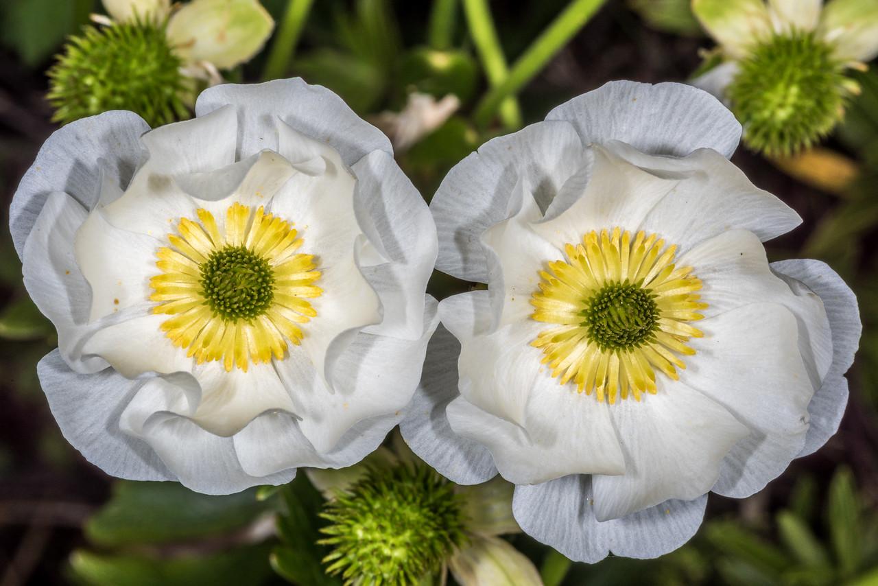 Giant buttercup (Ranunculus lyallii). Gertrude Valley, Fiordland National Park.