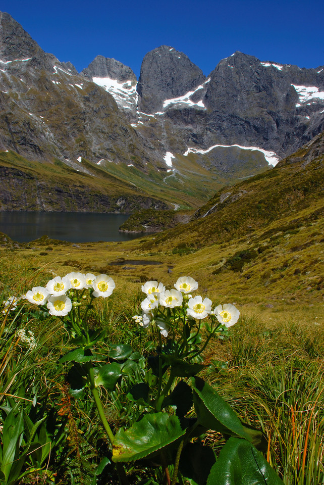 Mount Cook lily (Ranunculus lyallii) and Lake Adelaide