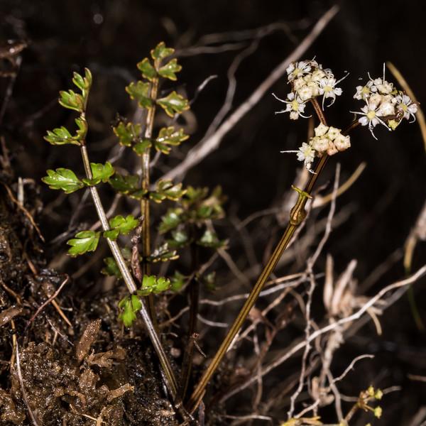 Gingidia decipiens. Luxmore Hut, Kepler Track, Fiordland National Park.