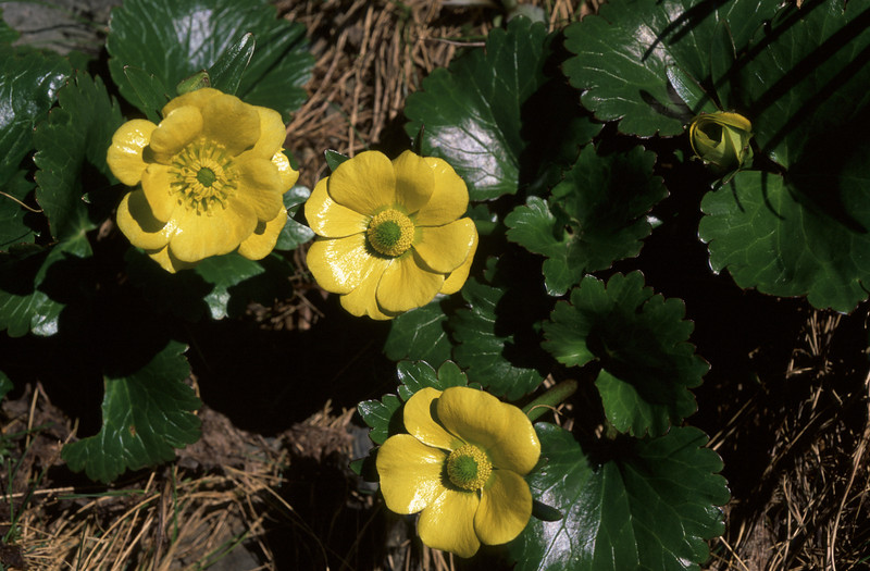 Hairy alpine buttercup / korikori (Ranunculus insignis). Travers Saddle, Nelson Lakes NP