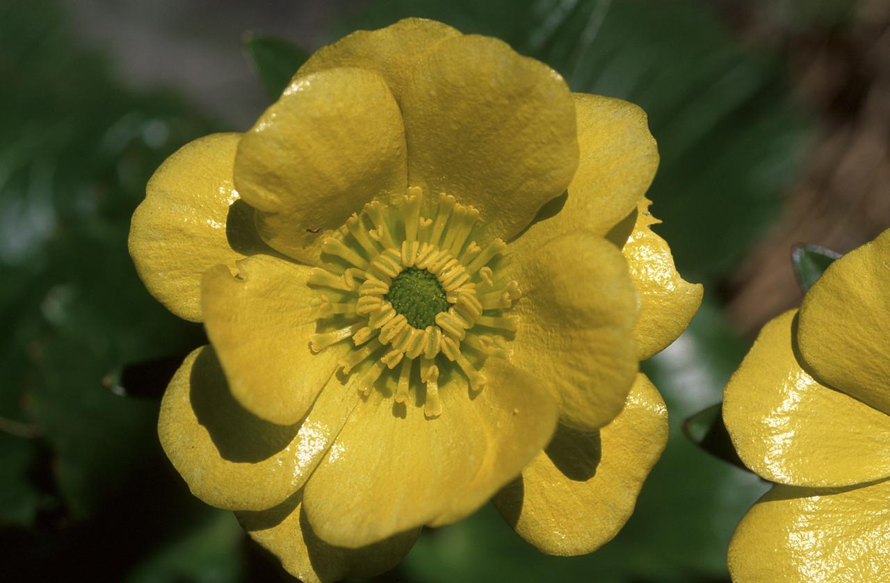 Hairy alpine buttercup / korikori (Ranunculus insignis). Travers Saddle, Nelson Lakes NP