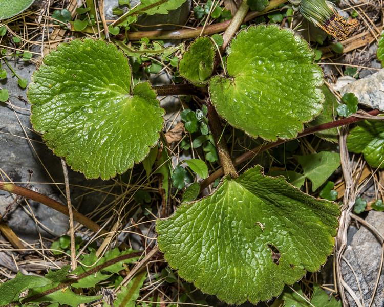 Hairy alpine buttercup / korikori (Ranunculus insignis). Mount Arthur, Kahurangi National Park.