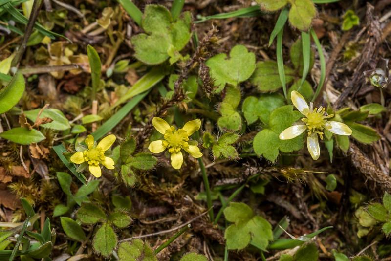 Hairy buttercup / kōpukapuka or mārūrū (Ranunculus reflexus). McLennan Hut, Catlins Forest.