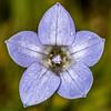 Harebell or New Zealand bluebell (Wahlenbergia albomarginata). Iris Burn, Kepler Track, Fiordland National Park.