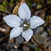New Zealand bluebell or harebell (Wahlenbergia albomarginata). Mount Arthur, Kahurangi National Park.