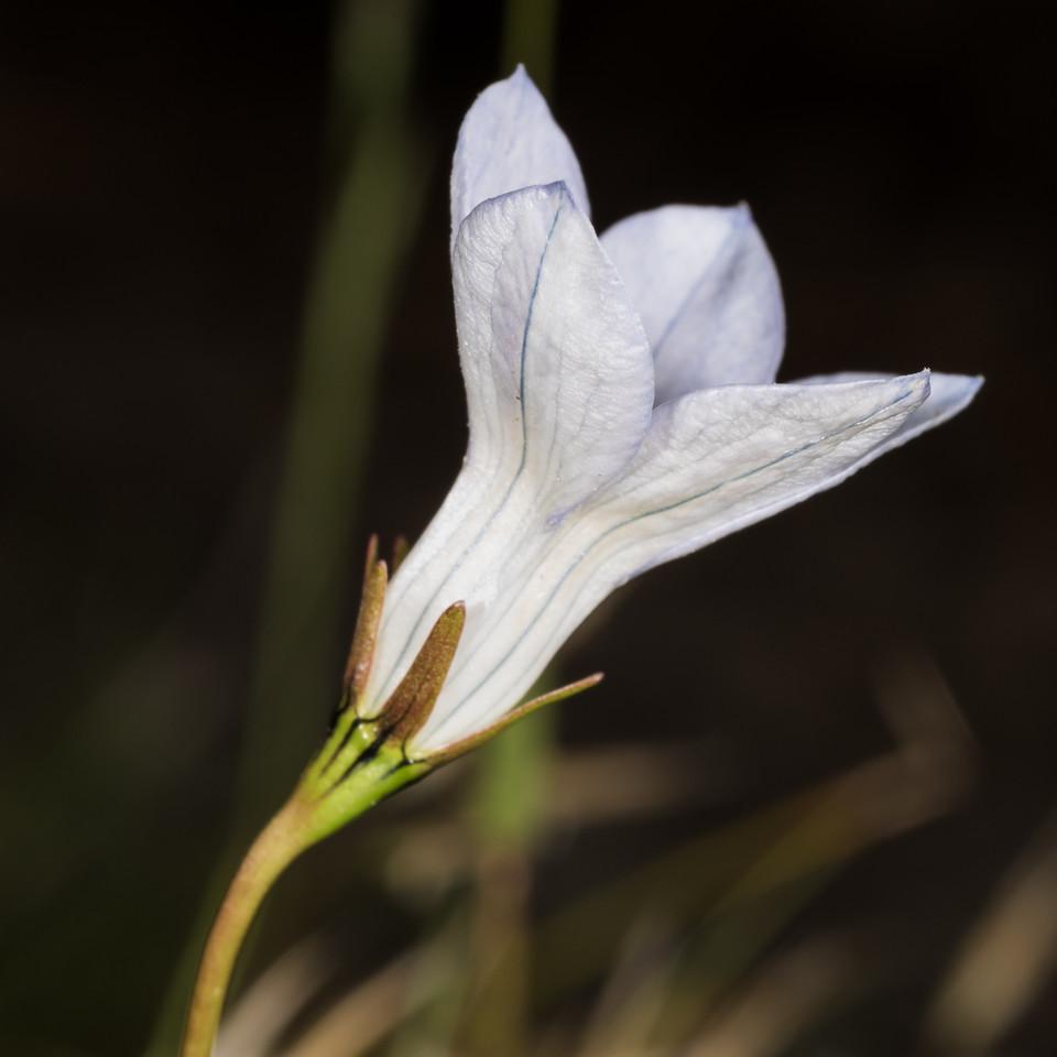 NZ harebell (Wahlenbergia albomarginata subsp. laxa). Gertrude Valley, Fiordland National Park.