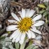 Hector's daisy (Celmisia hectorii). Gertrude Valley, Fiordland National Park.