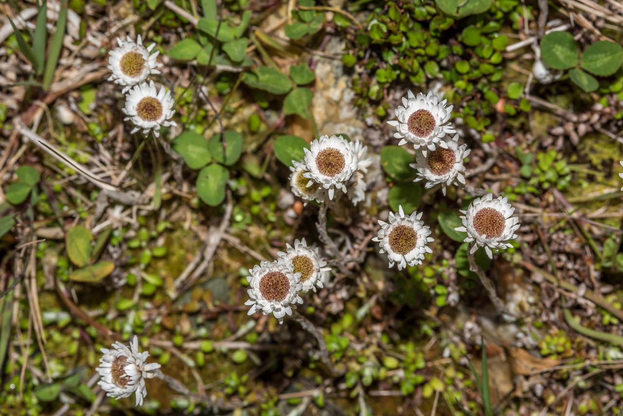 Hells bells or everlasting daisy (Anaphalioides bellidioides). Daleys Flat, Dart River