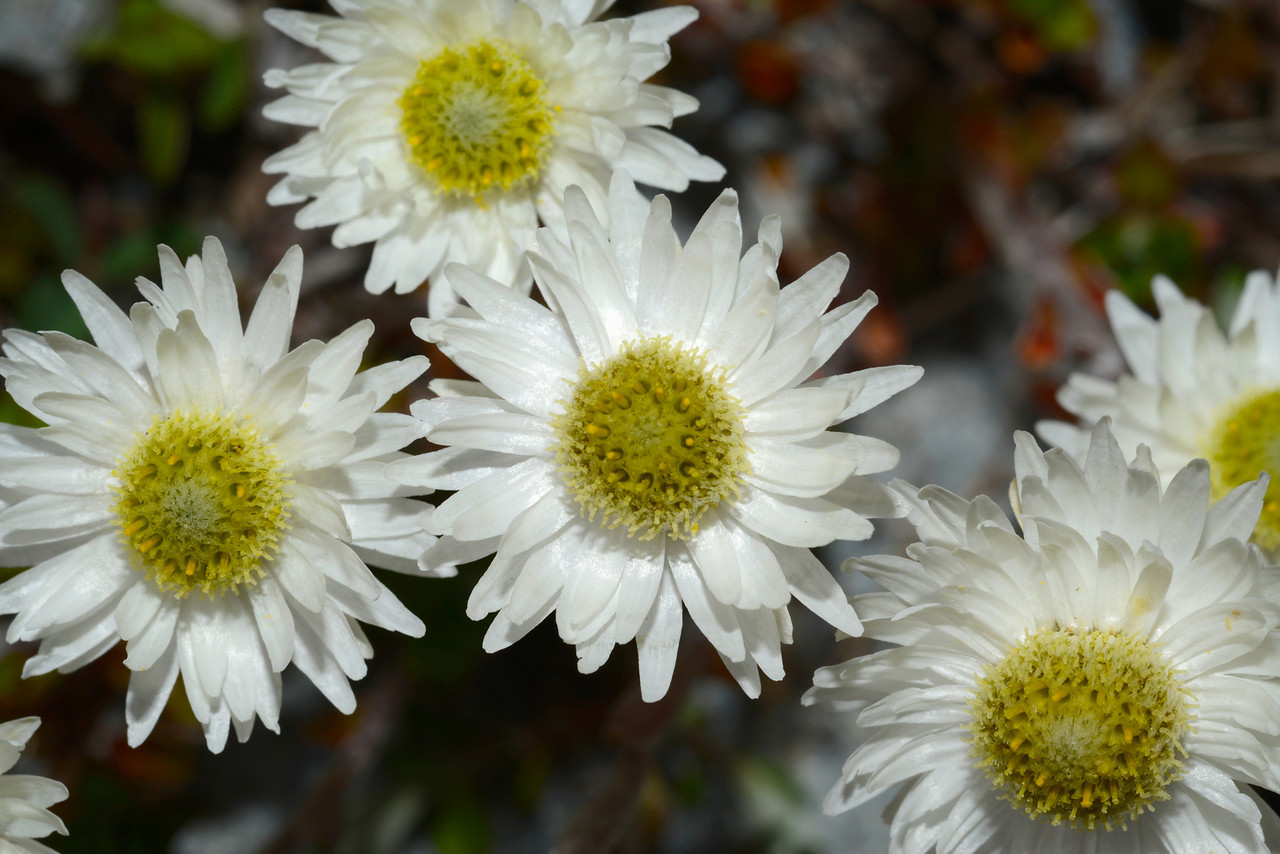Everlasting daisy (Anaphalioides bellidioides). Ahuriri River