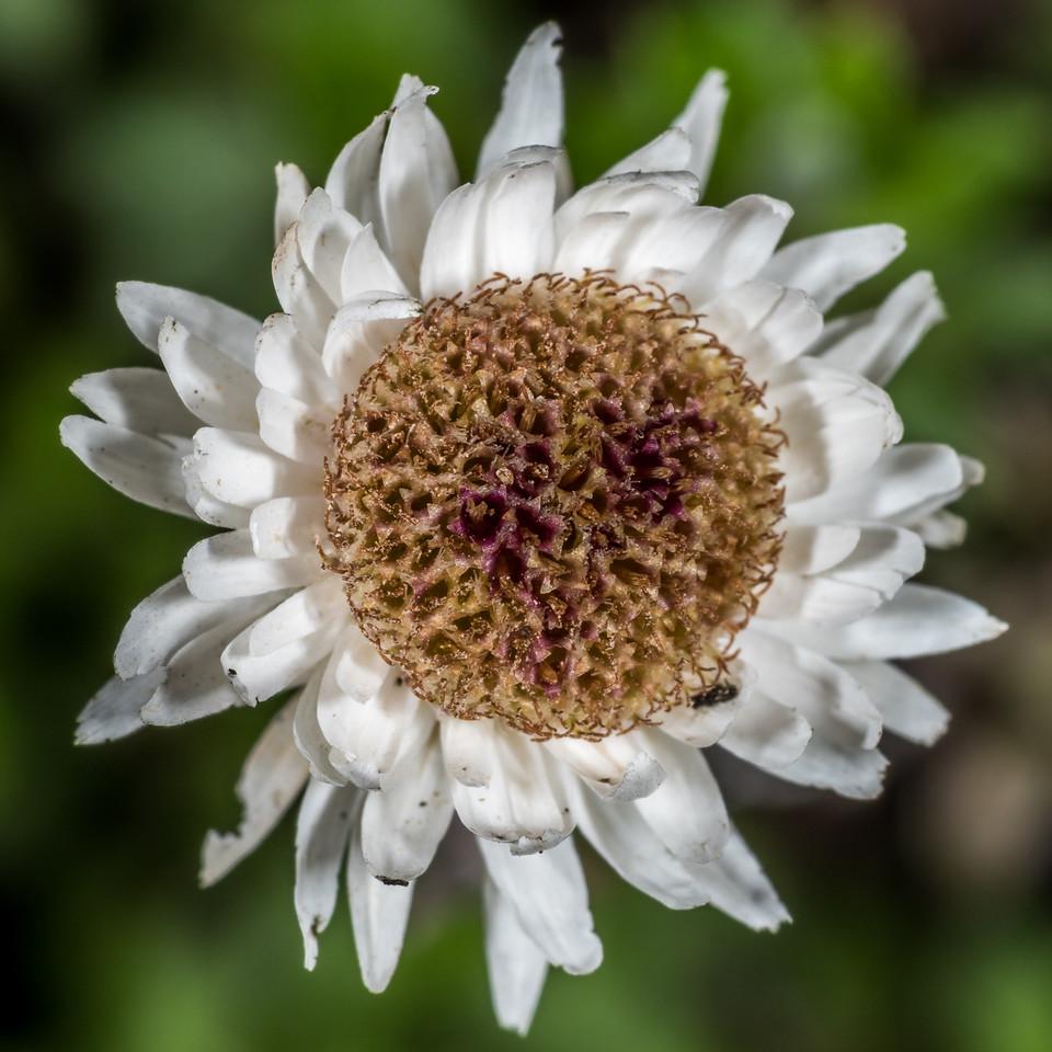 Everlasting daisy (Anaphalioides bellidioides). Iris Burn, Kepler Track, Fiordland National Park.