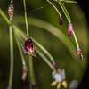 Inkberry / tūrutu (Dianella nigra). Heaphy Track between Brown Hut and Aorere Shelter, Kahurangi National Park.