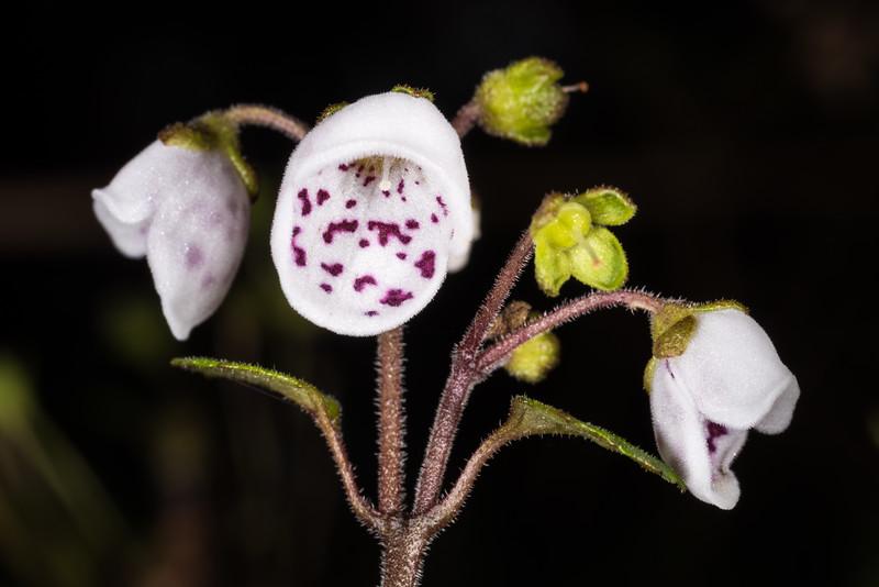 New Zealand calceolaria (Jovellana sinclairii). Dunedin Botanic Garden.