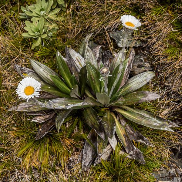 Large mountain daisy (Celmisia semicordata ssp. semicordata). Needles Eye, Douglas Range, Kahurangui National Park.