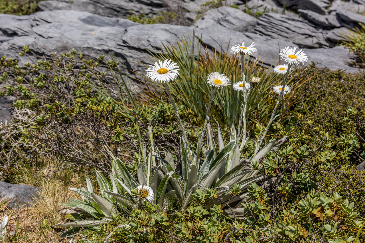 Large mountain daisy (Celmisia semicordata ssp. semicordata). Mount Arthur, Kahurangi National Park.