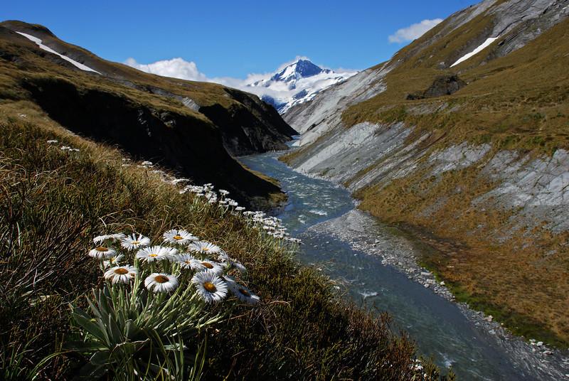 Large mountain daisy (Celmisia semicordata) in front of Mt Aspiring, Cascade Creek head basin.