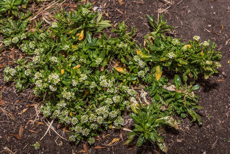 Thick-leaved scurvy grass (Lepidium crassum). Dunedin.