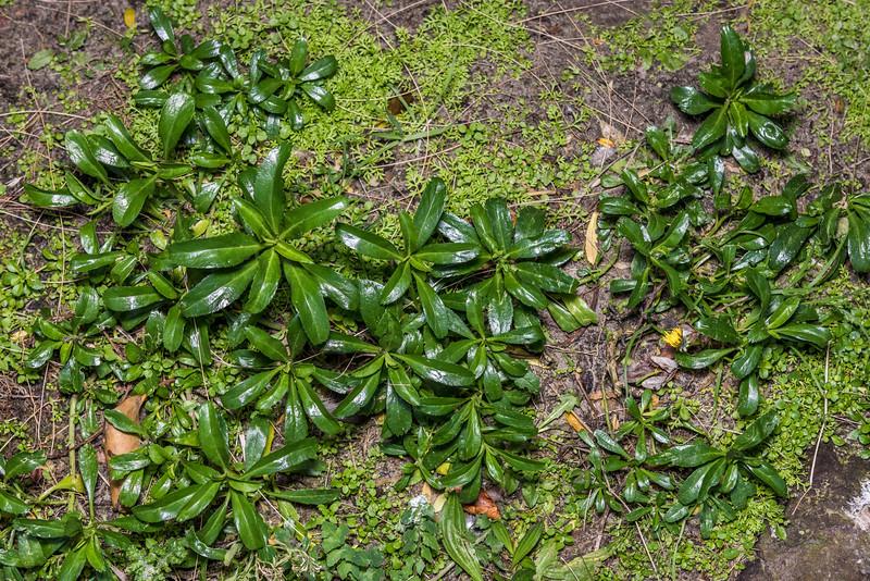 Scurvy grass (Lepidium juvencum). Dunedin.
