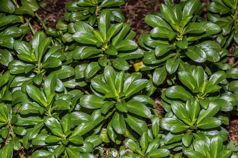 Cook's scurvy grass / nau (Lepidium oleraceum). Dunedin Botanic Garden.