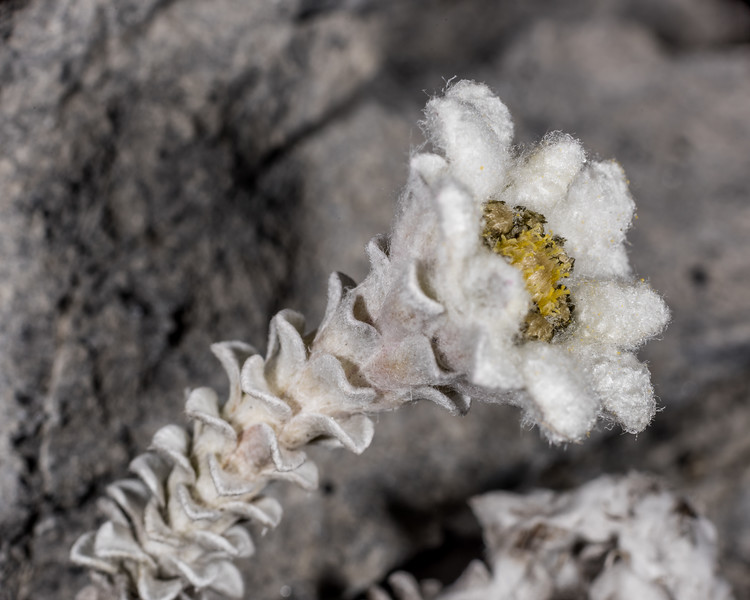 South Island edelweiss (Leucogenes grandiceps). Mount Arthur, Kahurangi National Park.