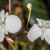 New Zealand iris / mīkoikoi (Libertia grandiflora). Yellow Point, Abel Tasman National Park.