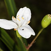 New Zealand iris / mīkoikoi (Libertia ixioides). Lake Manapouri, Kepler Track, Fiordland National Park