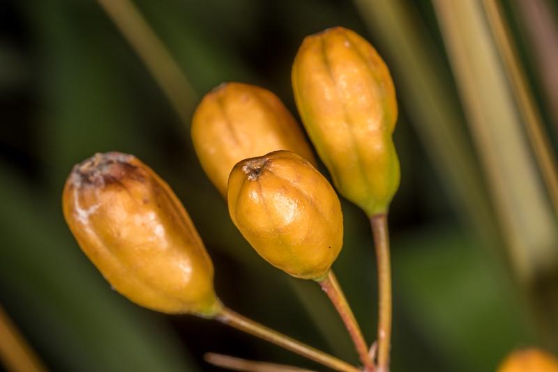 New Zealand iris / mīkoikoi (Libertia ixioides). Dunedin Botanic Garden.