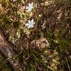 Native iris / mīkoikoi (Libertia micrantha). Lookout Point, Heaphy Track.
