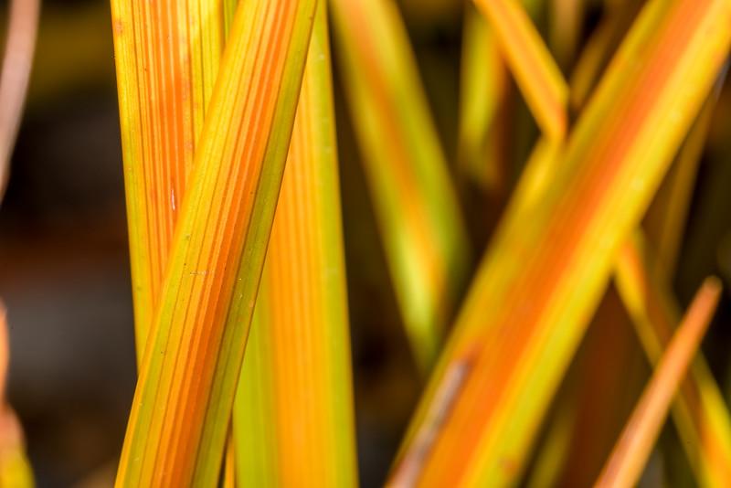 New Zealand iris / mīkoikoi (Libertia peregrinans). Dunedin Botanic Garden.