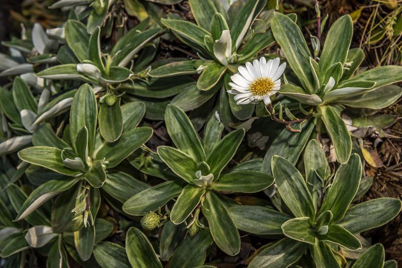 Lindsay's Daisy (Celmisia lindsayi). Cannibal Bay, Catlins