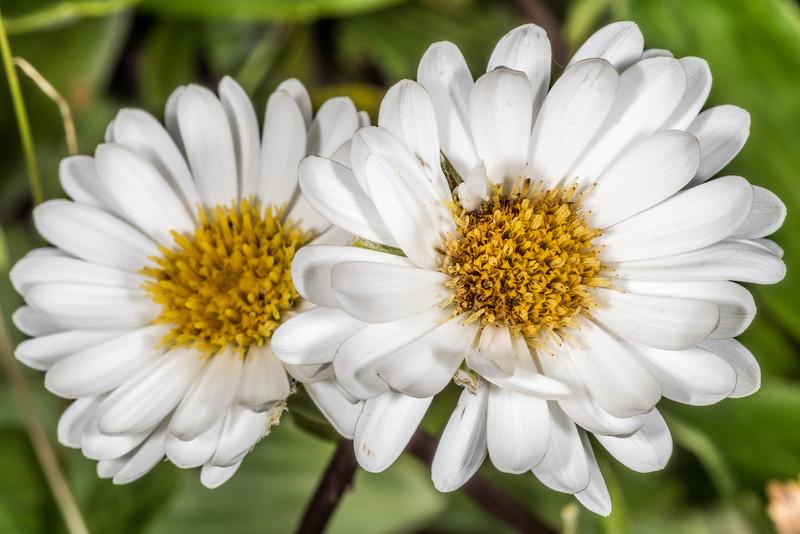 Lindsay's Daisy (Celmisia lindsayi). False Islet, Catlins.